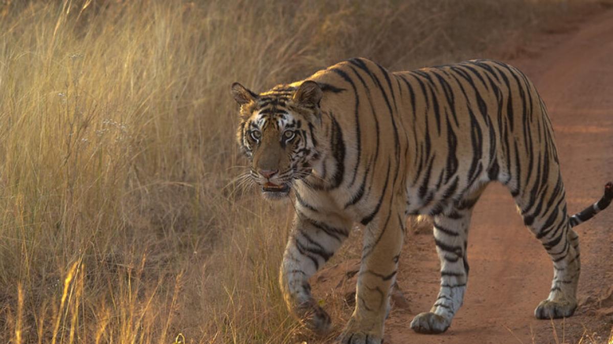 Tiger/ Representative Pic