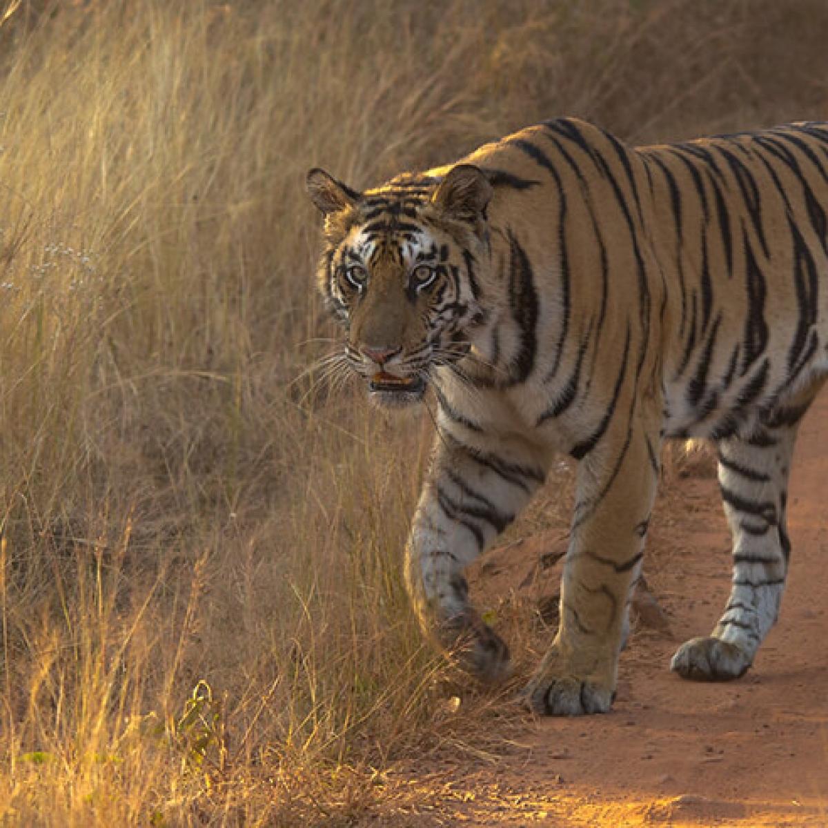 Madhya Pradesh: 10-yr-old 'Queen' of Panna Tiger Reserve found dead