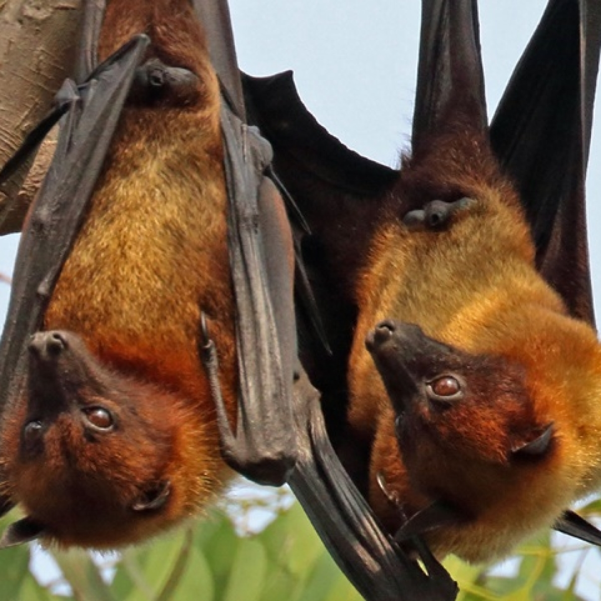 Rajasthan: Homosexual bats performing fellatio leave scientists baffled