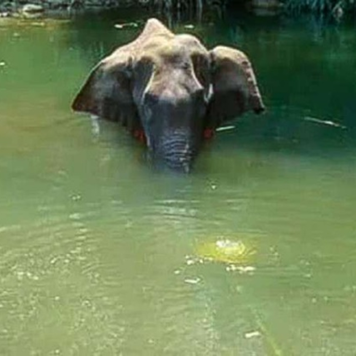 Kerala Elephant death: Not a pineapple, elephant had eaten a coconut filled with explosives, says report