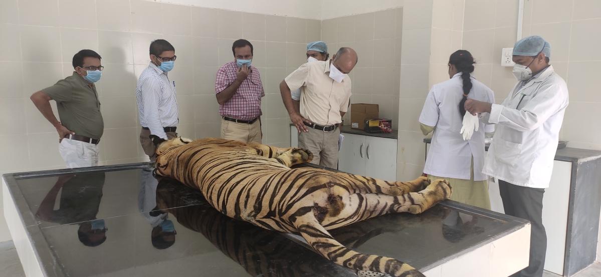 'Problem' tiger dies at Nagpur rescue centre