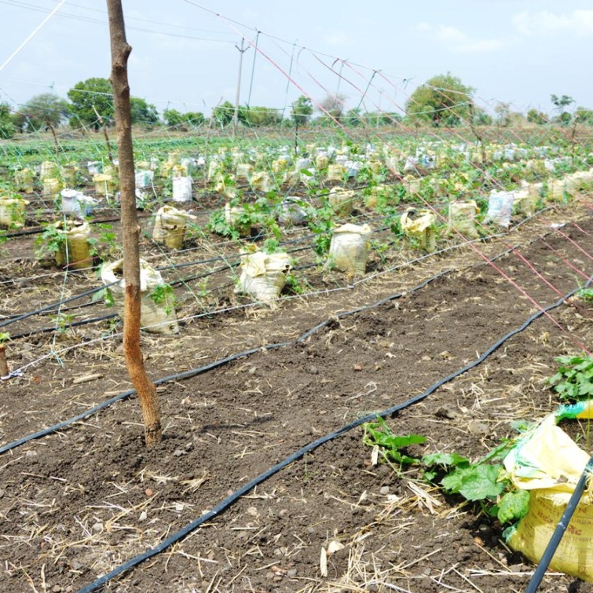 Bhikangaon: Agriculture PG student's method brings hope for marginal farmers