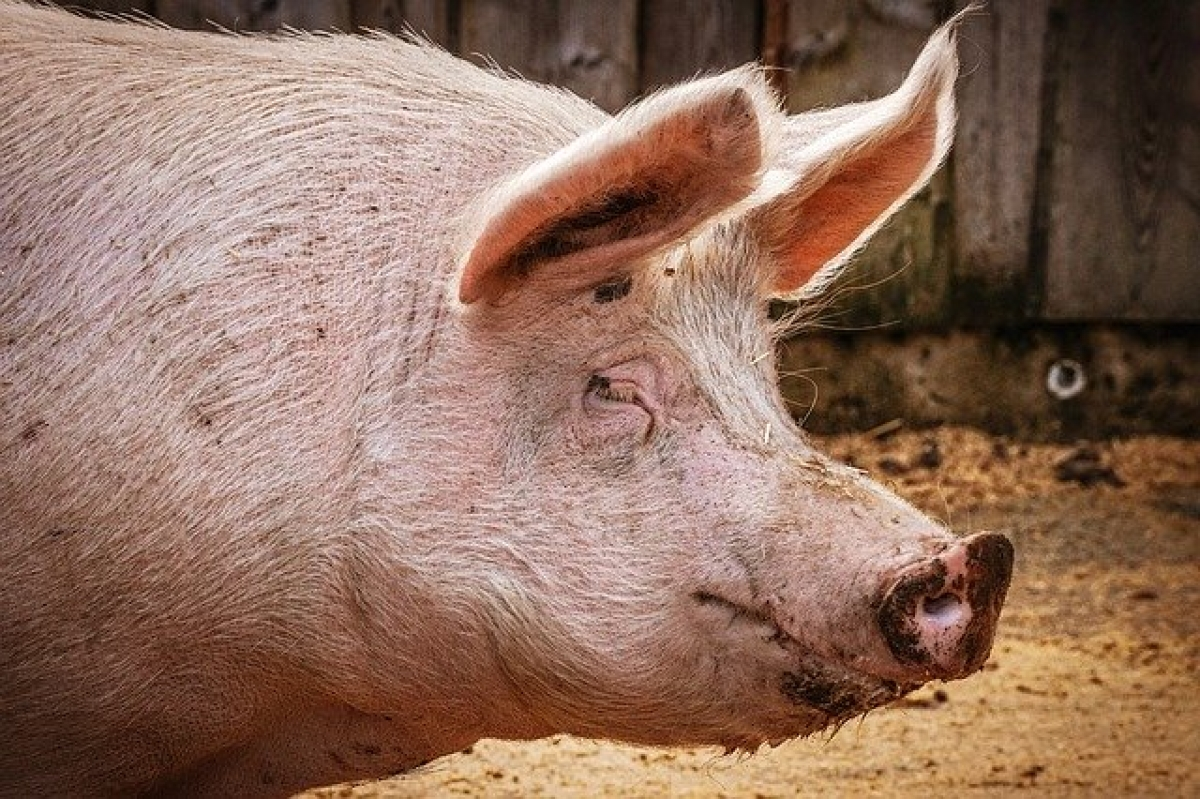 Currently, the virus has only infected pigs, but scientists are being cautious