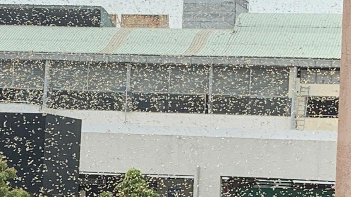 Watch Video: Now, swarms of locust attack parts of Gurugram