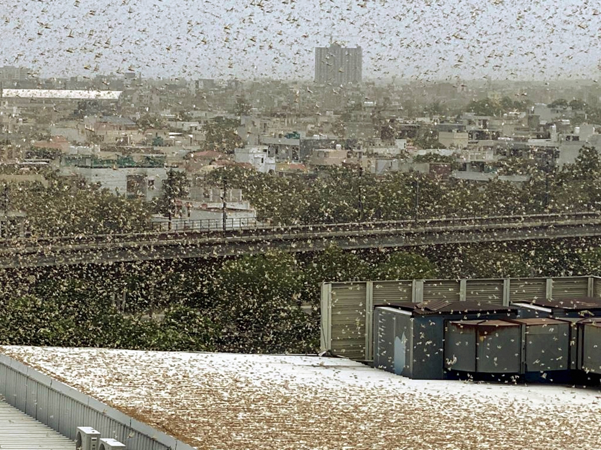 3 locust swarms active in Delhi-NCR, control operations underway