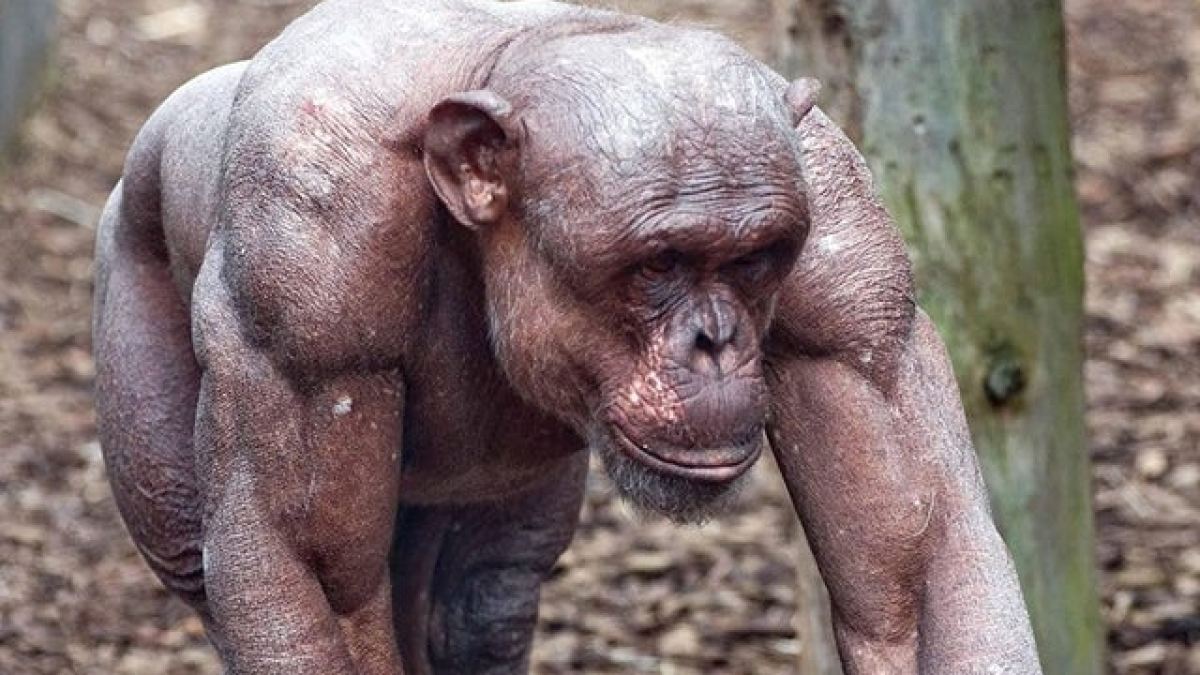 'Planet of the apes just became scarier': Twitter in awe of how ripped chimpanzees really are