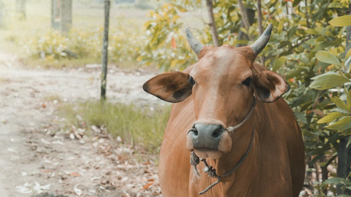 SIES-FPJ: India's amazing milk story – vibrant but threatened