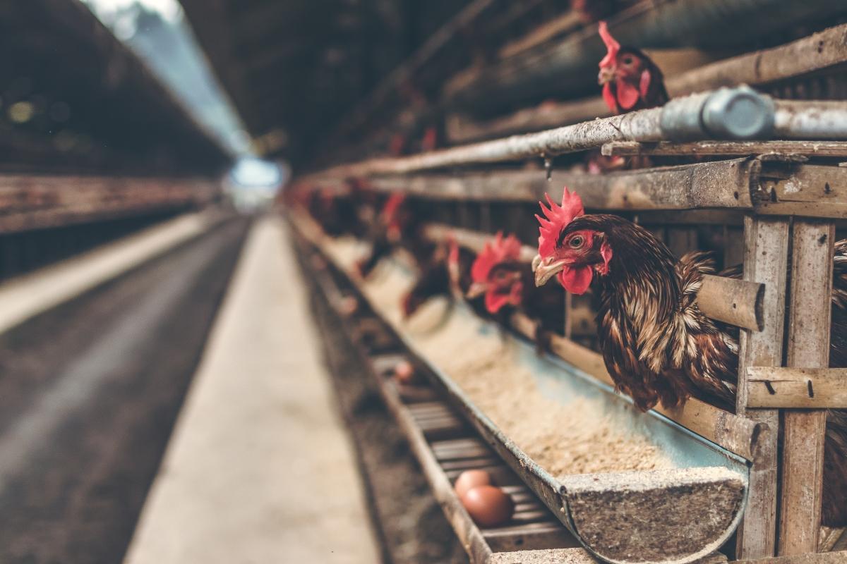 FPJ-SIES webinar: Livestock provides stability to farming income