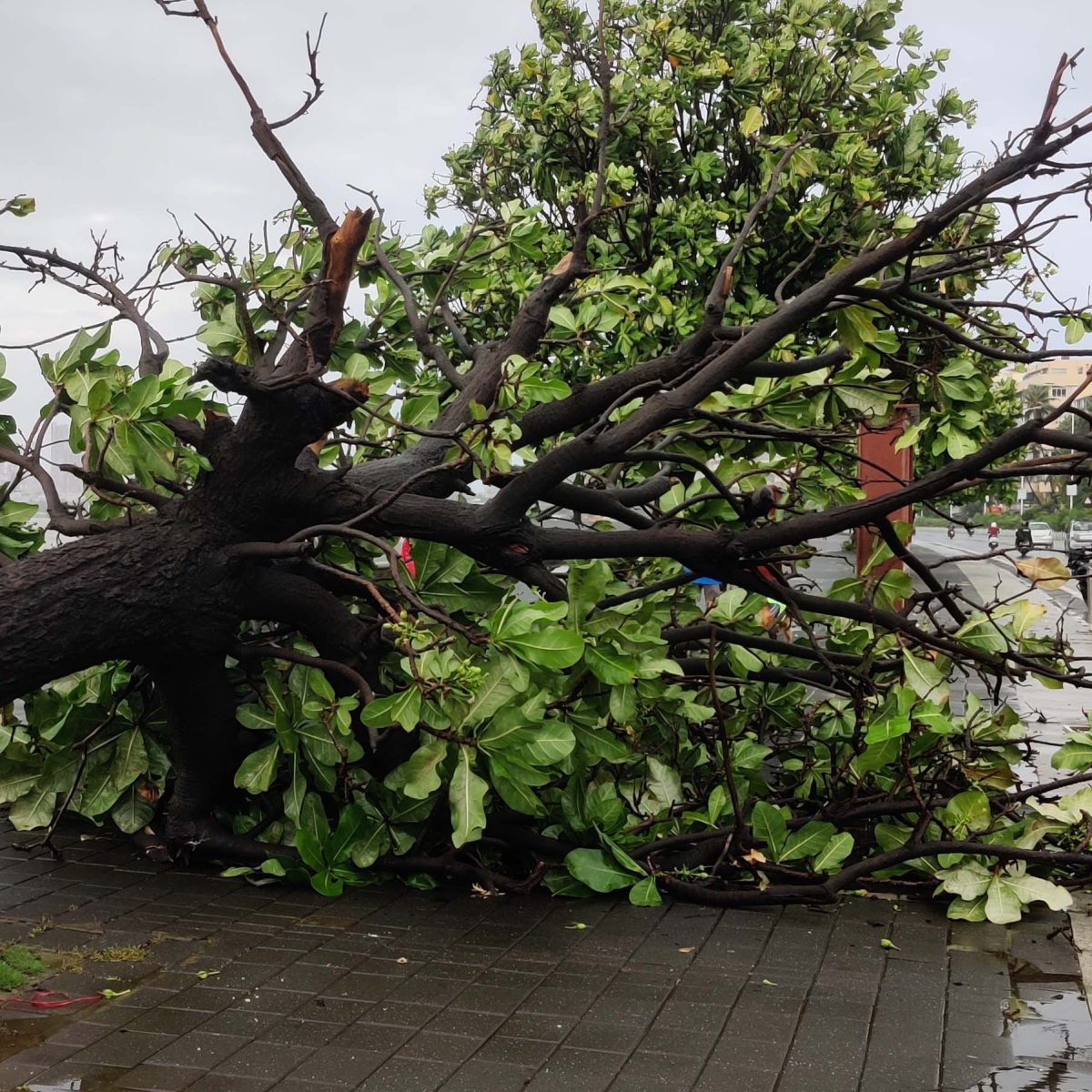 Navi Mumbai Rains: 64-year-old senior citizen dies after tree falls on him in Airoli