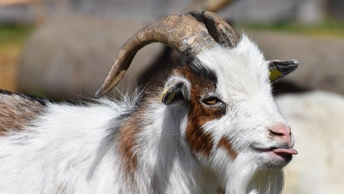 Bizarre: Kanpur police arrest 'goat' for not wearing mask