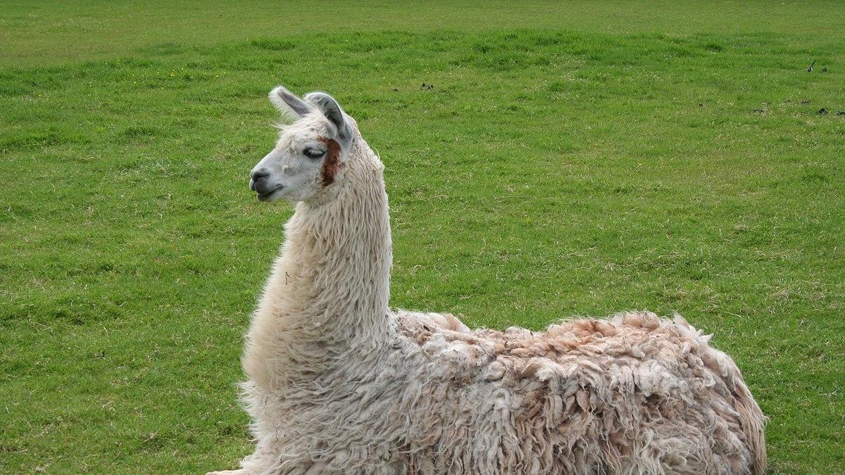 Antibodies from llamas can neutralise the coronavirus