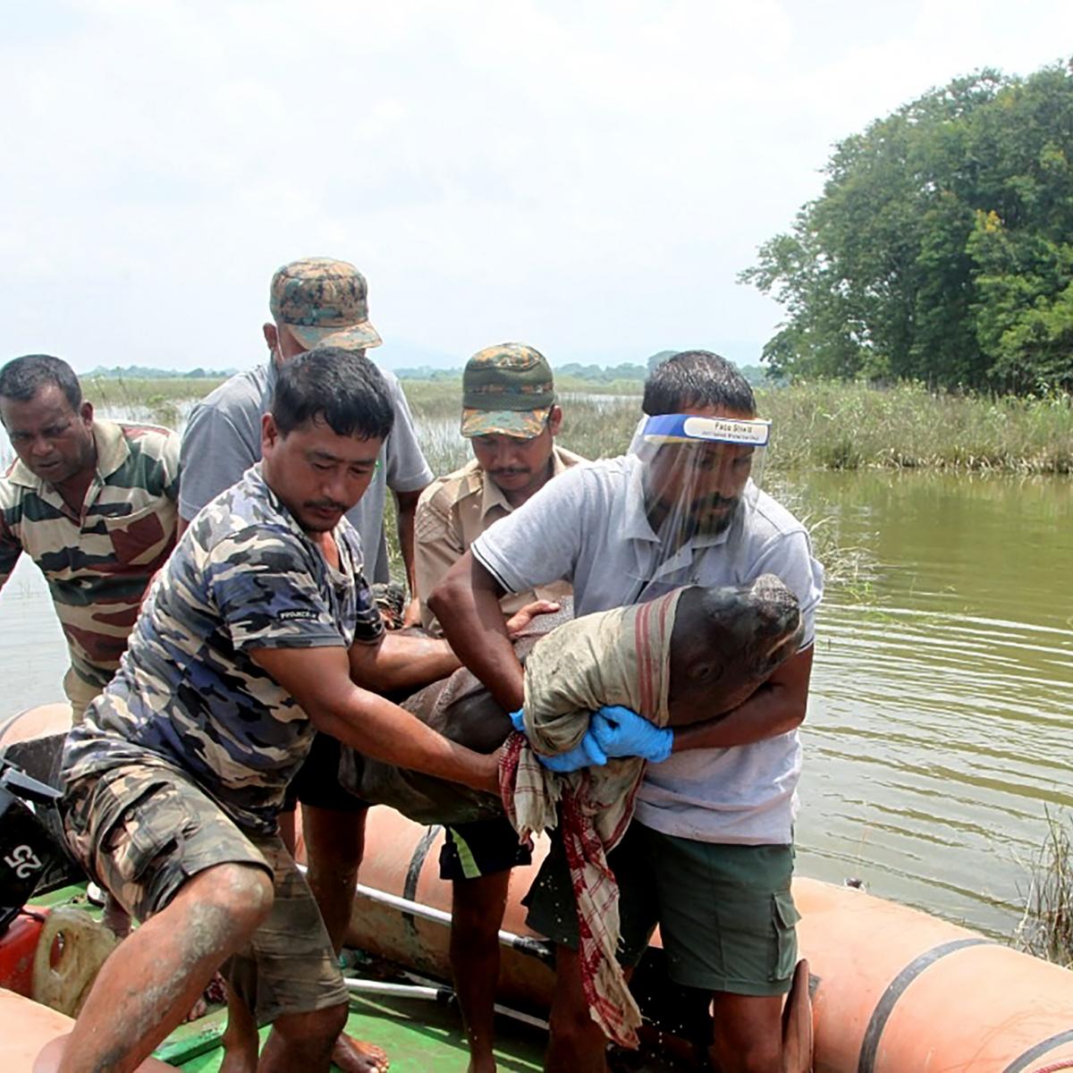 Assam floods: 3-4 days old Rhino calf rescued in Kaziranga National Park