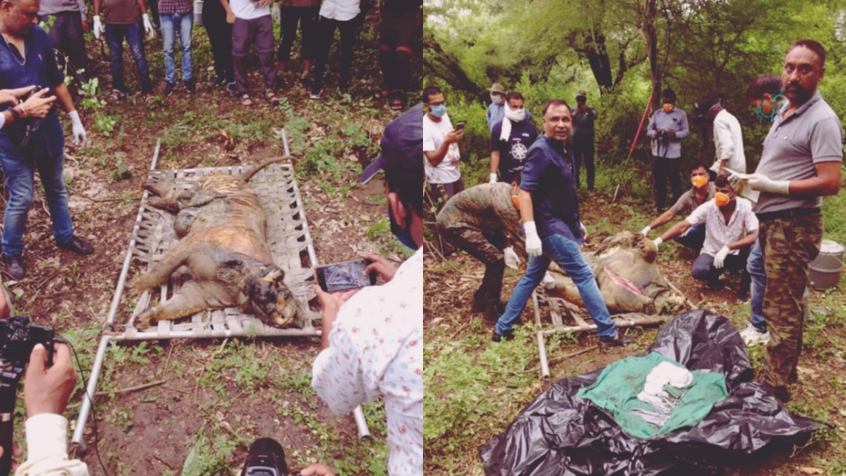 Rajasthan: Tragic love story of two love-lost tigers comes to end after body of tigress found in Mukundara