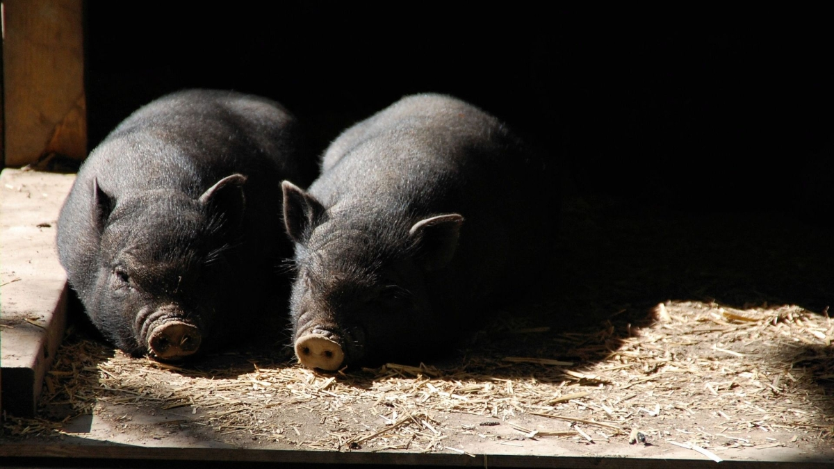 Uttar Pradesh: Pig injured after eating 'explosive' from garbage heap in Kanpur