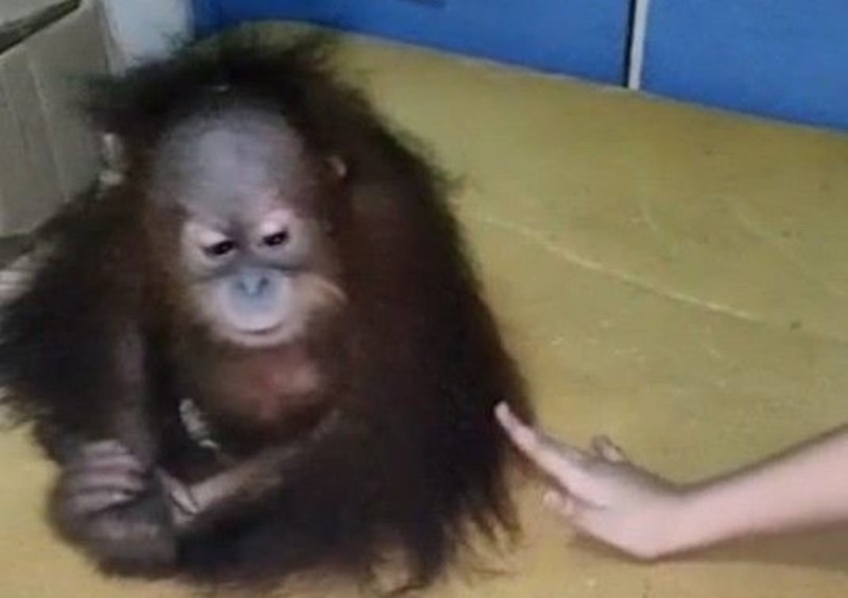 PETA India offers Rs 1 lakh reward for information leading to rescue of illegally traded baby orangutan