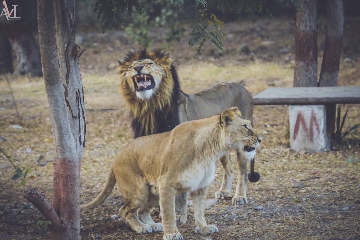 Four lions at Chennai's Arignar zoo  found positive for Delta variant of COVID-19