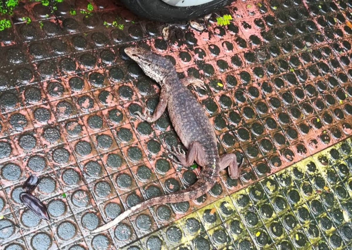 Monitor lizard rescued from housing society in Thane