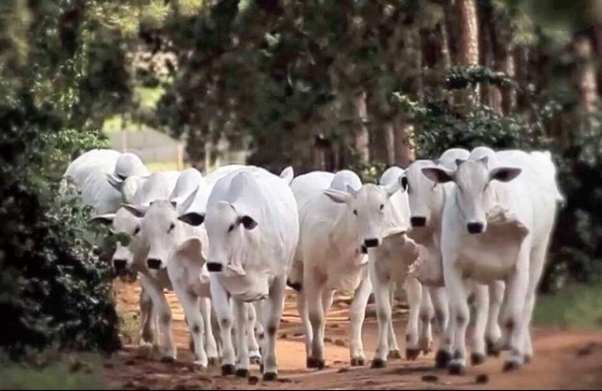 Virus attack on cattle in Madhya Pradesh