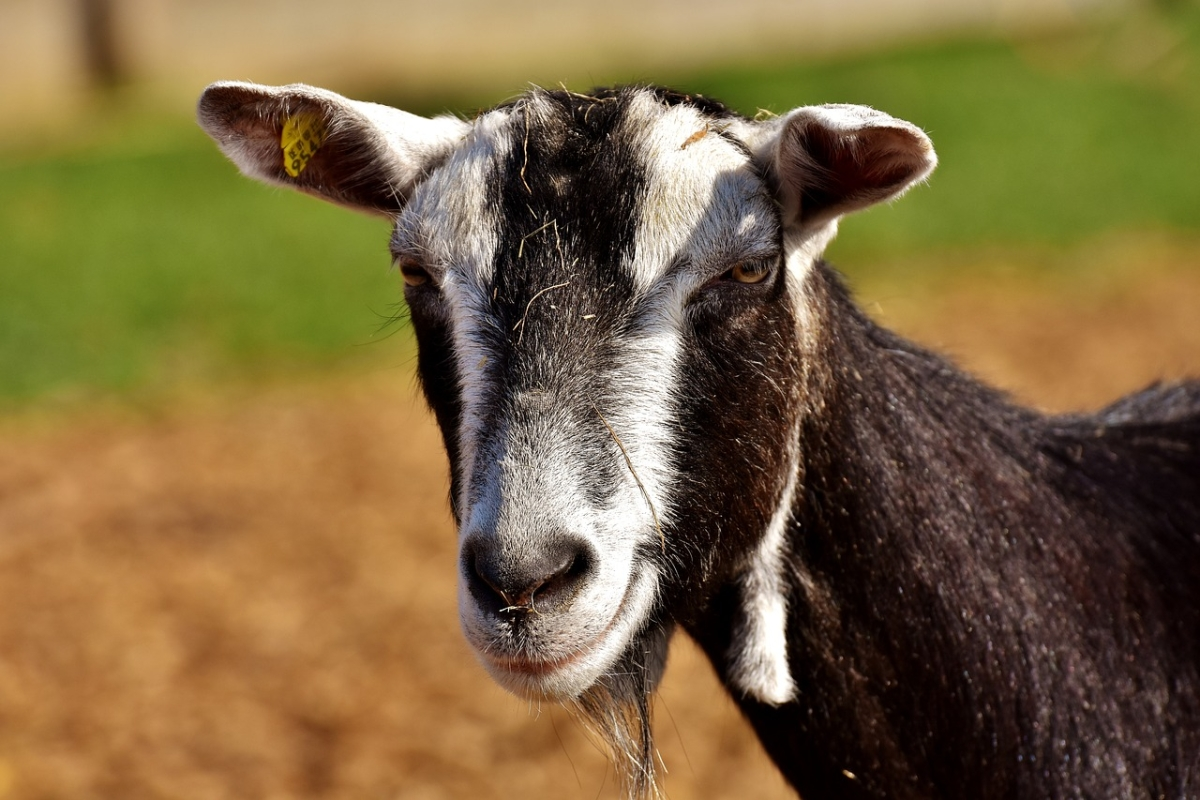 You've goat to be kidding: Hungry goat munches on police paperwork