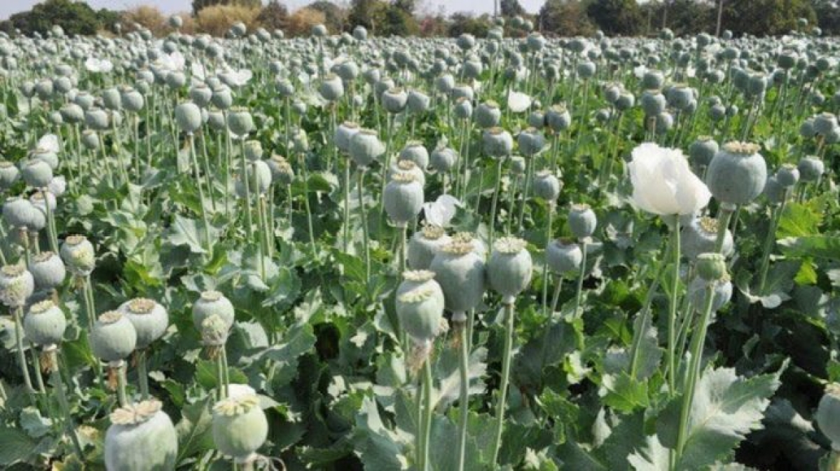 Opium peddling case in Neemuch: Peddlers tried to frame contractor for prize money