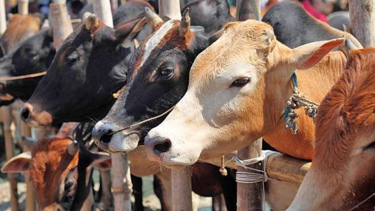 Thane: 30-year-old man arrested for allegedly stealing cows in Ambernath