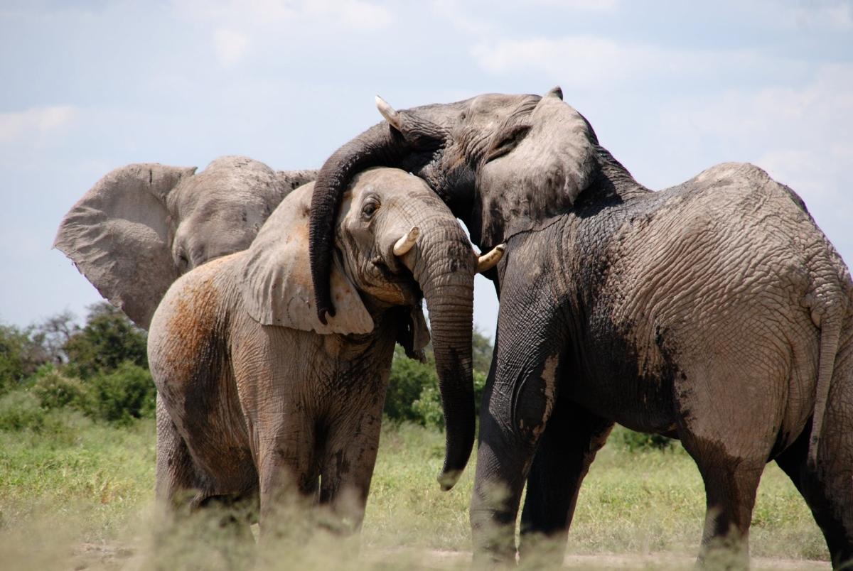 Sidhi: Man, 2 grandsons killed by wild elephants near Sanjay Tiger Reserve