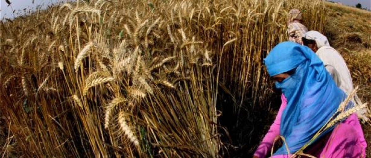 Wheat-paddy cycle will make it a hard row to hoe in the long run