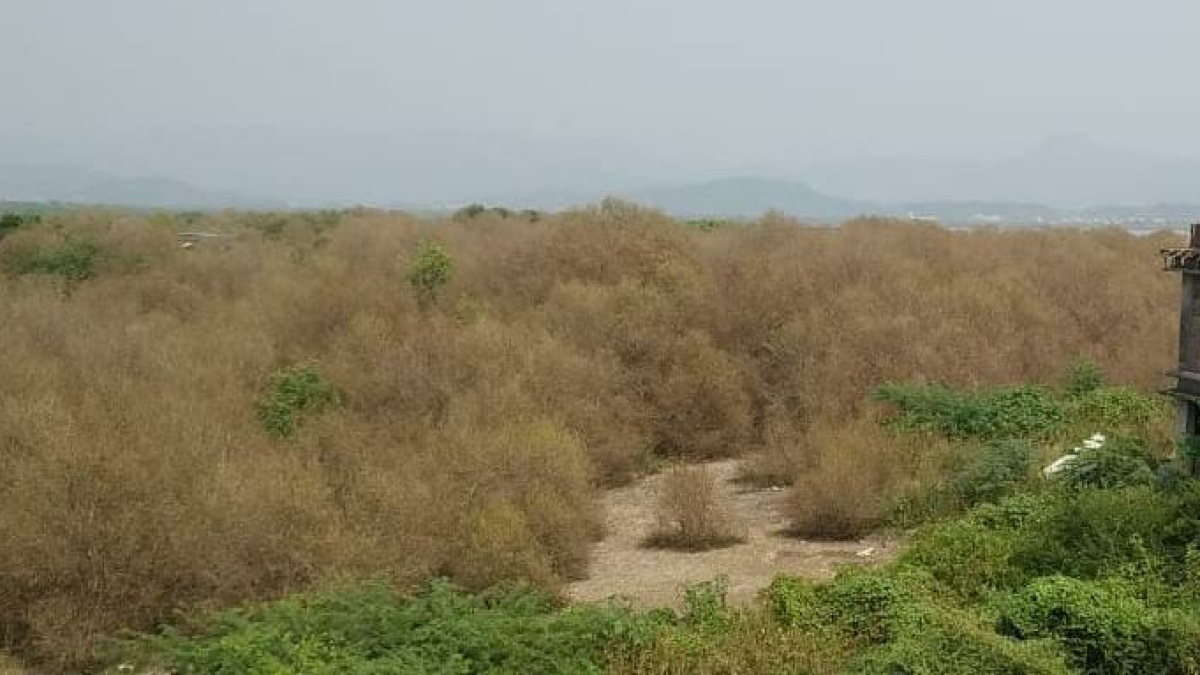 Mira Bhayandar: Massive infestation in mangroves patches in twin-city