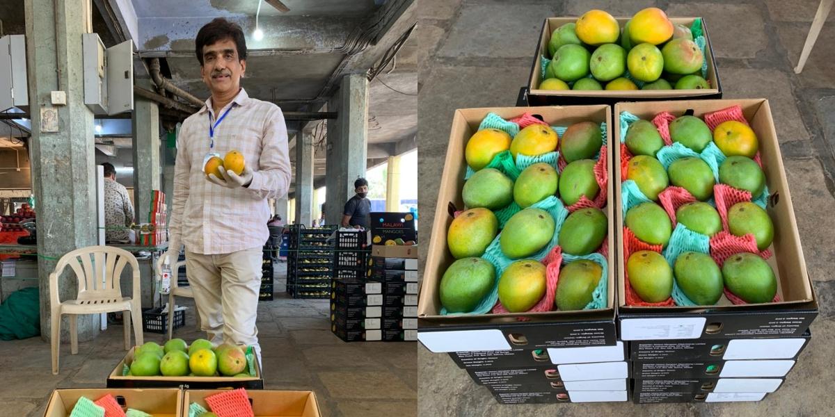 Navi Mumbai: APMC market gets  Alphonso mangoes from Malawi in Southeast Africa