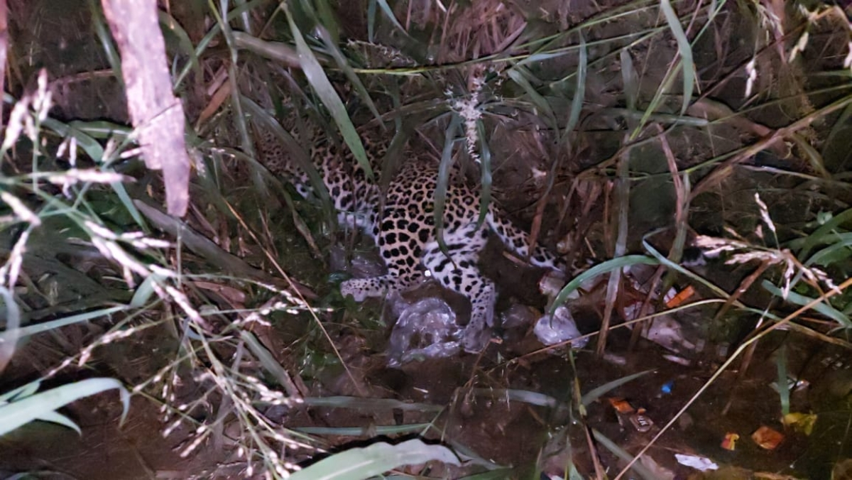 Pregnant leopard run over on Ghodbunder highway dies