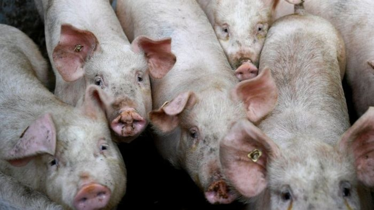 Not again: Amid coronavirus pandemic, now Canada reports first 'rare strain' of swine flu in humans