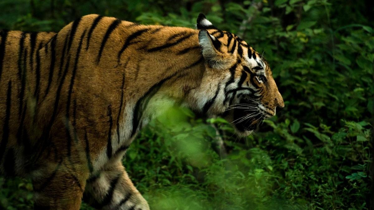 Tiger found dead in Chandrapur district