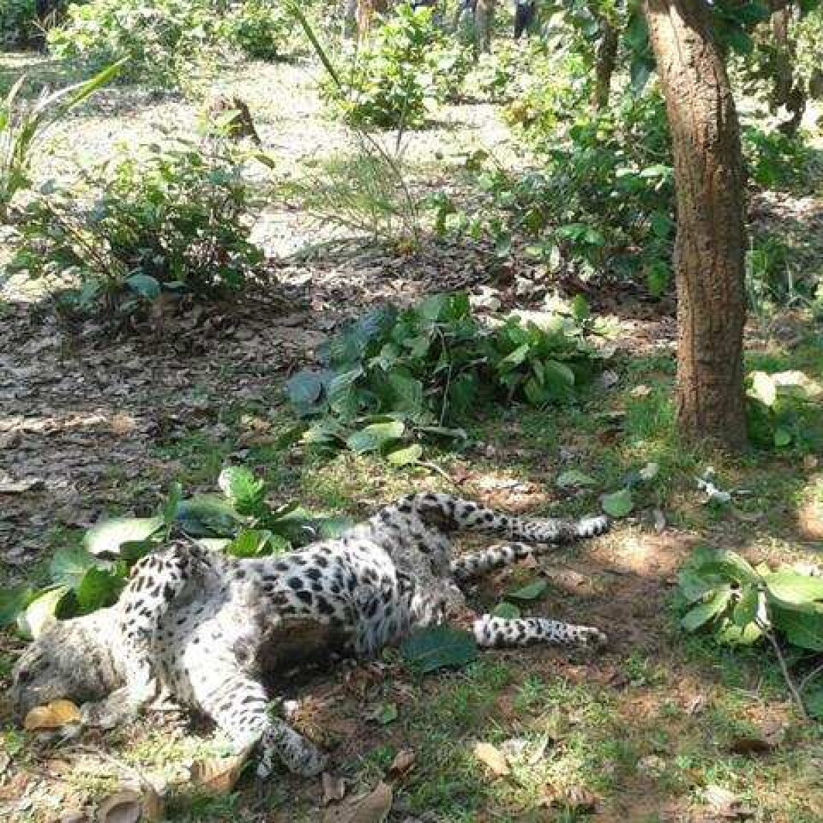 Madhya Pradesh: Leopard dies of electrocution in Umaria forest
