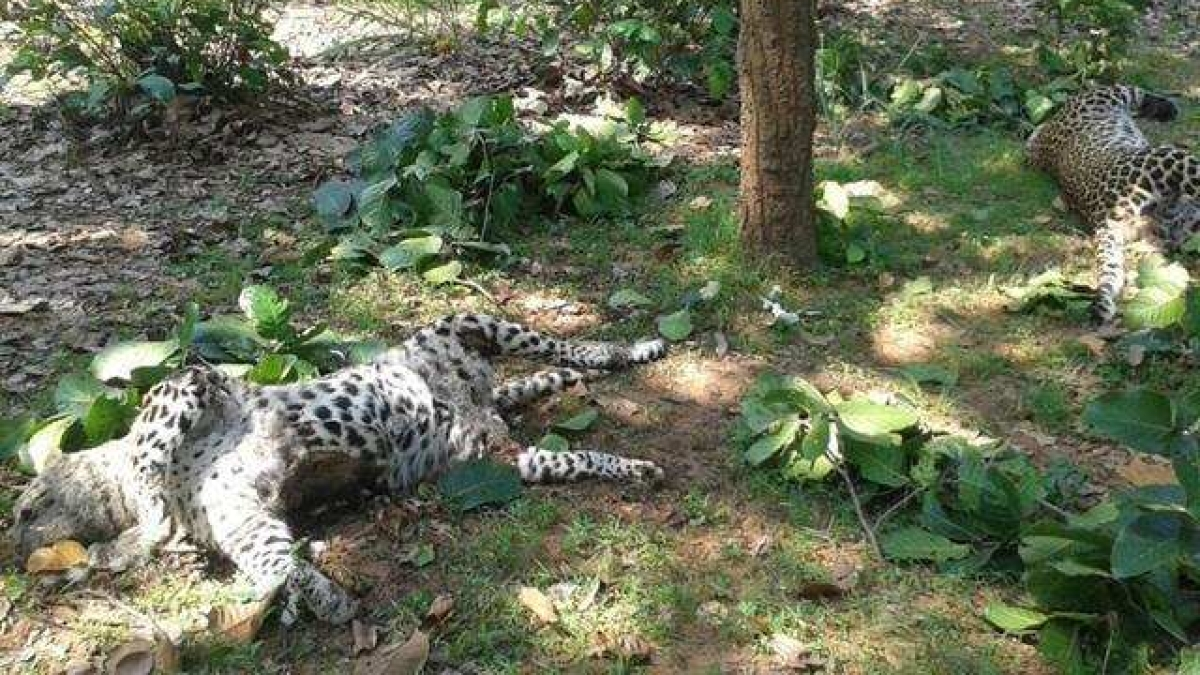 Madhya Pradesh: Carcasses of two leopards found in Balaghat district; electrocution suspected