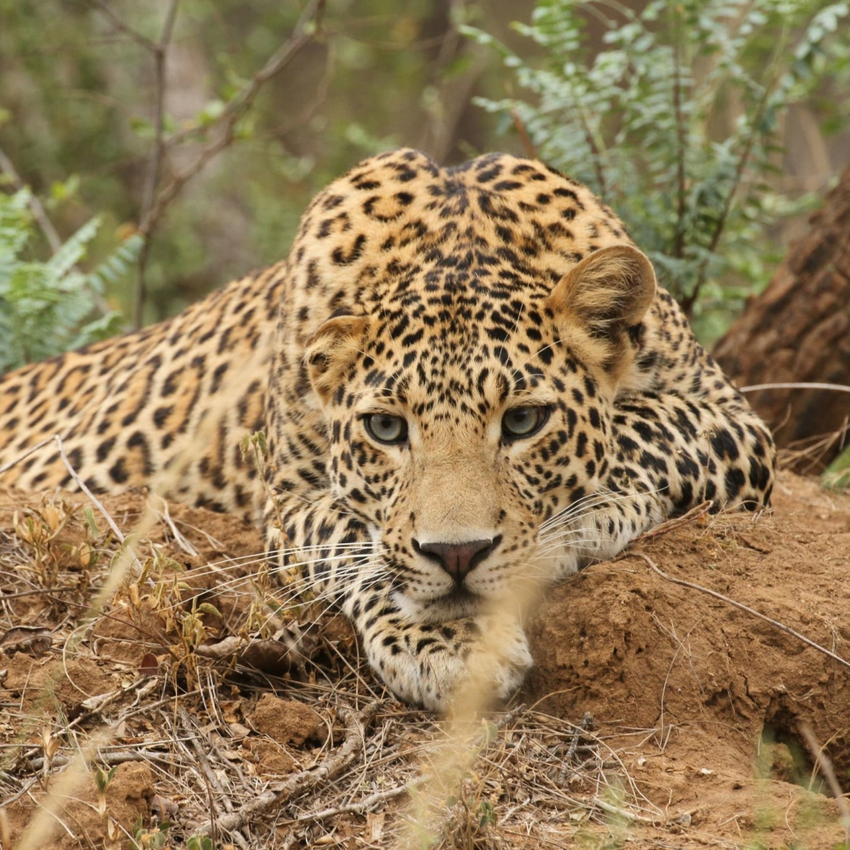 Madhya Pradesh awaits result of leopard count