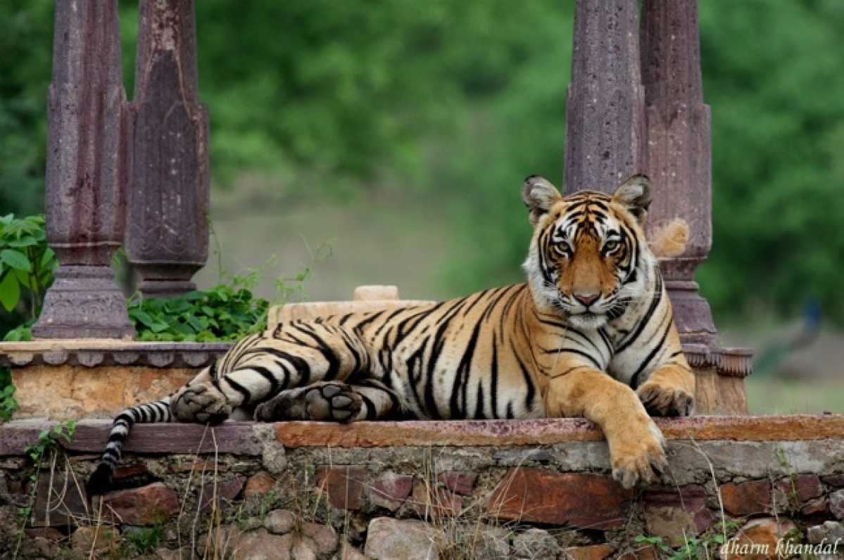 Tiger returns to Rajasthan from Madhya Pradesh after eight years