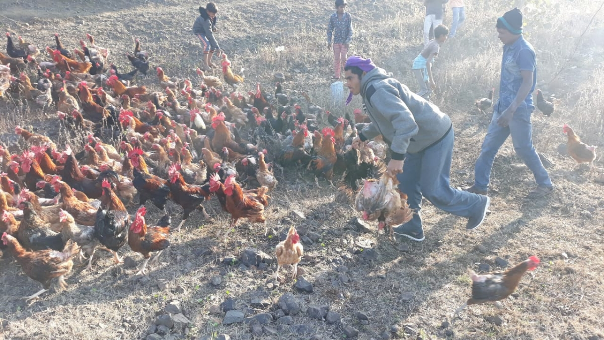 Villagers picking up chickens to carry them home in Sendhwa tehsil