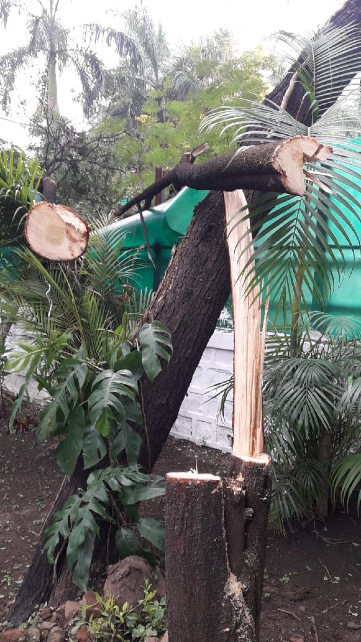 Miscreants fell sandalwood tree in minister's bungalow in Bhopal