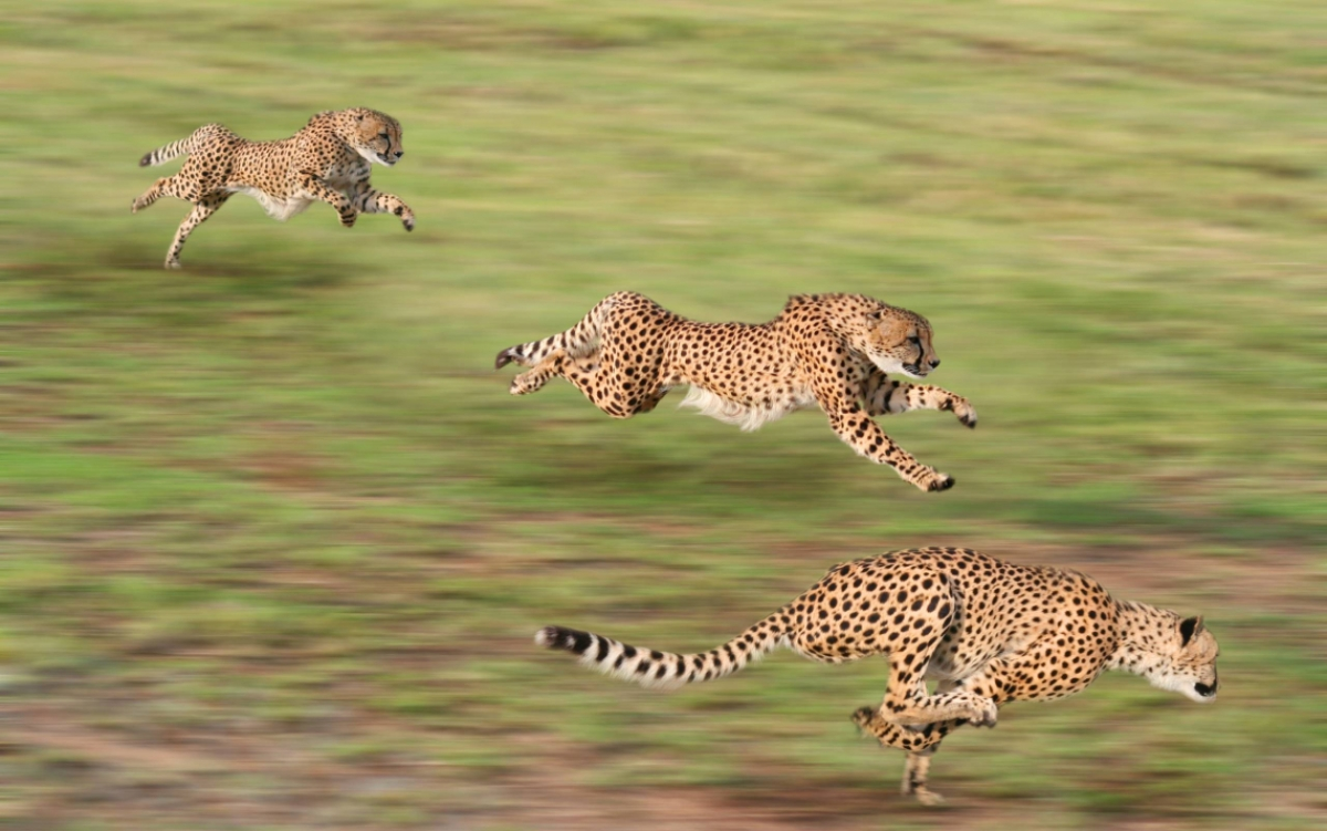 World Cheetah Day Today: MP's tryst with reintroducing cheetah gathers momentum