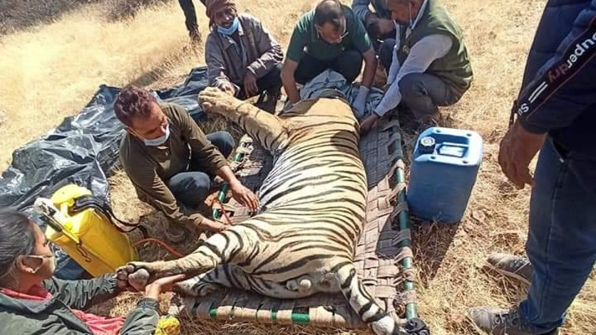 Officials at Ranthambore National Park removing the noose from the neck of tiger T-108