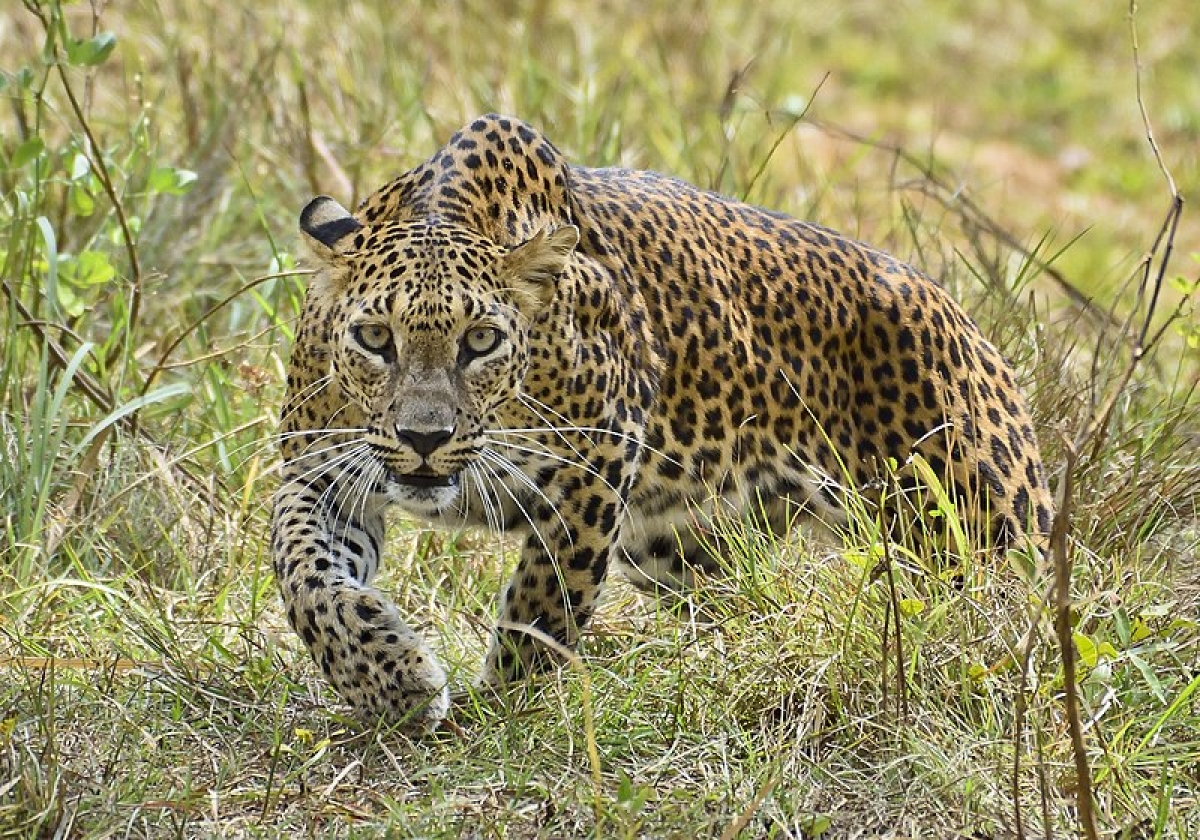 Madhya Pradesh becomes Leopard State of India, boasts most diverse genetic pool