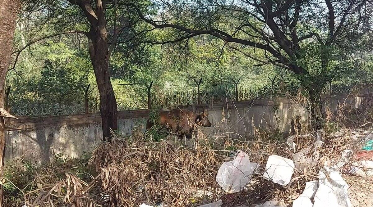 Pune: Days after the death of Indian Gaur, another one sighted in city