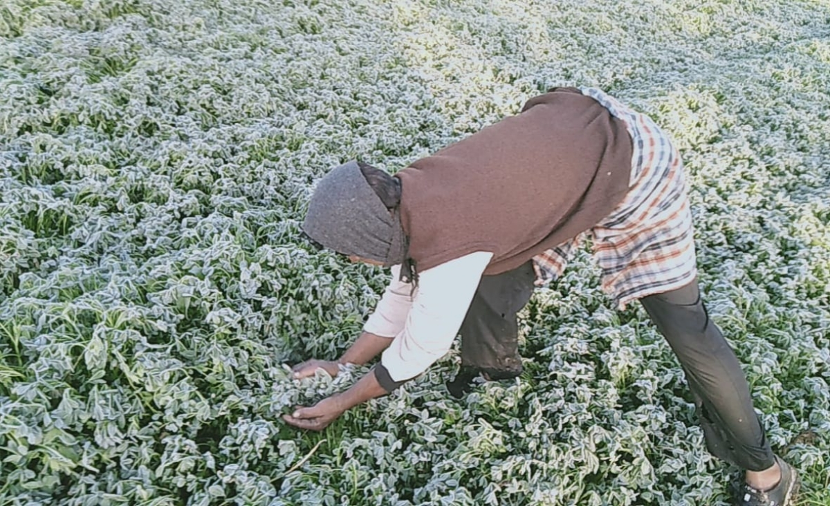 A farmer in Mandsaur district looks at frost on his crops