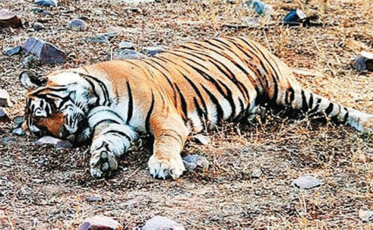 Madhya Pradesh: Are you waiting for a tiger to die, asks environmentalist
