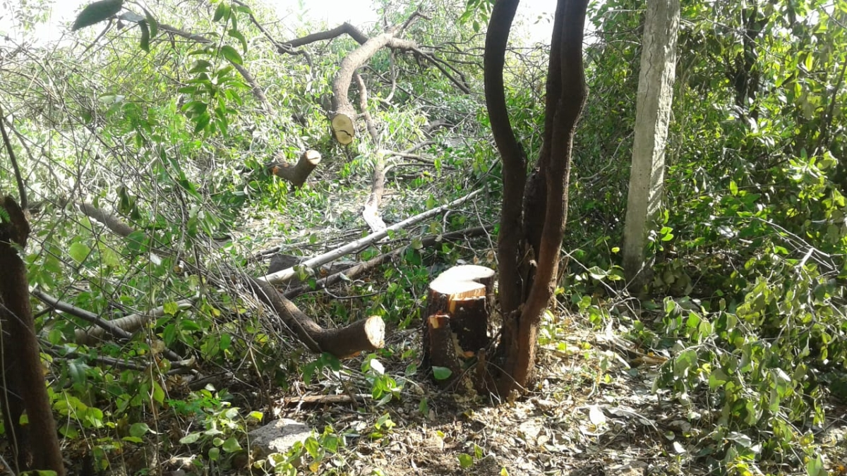 The remaining of sandalwood trees after thieves cut from 74-Bungalow and Char Imli area.