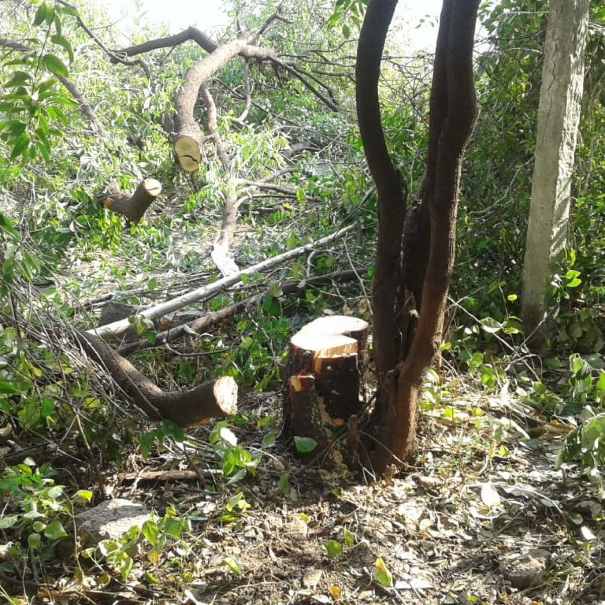 Bhopal: Thieves steal sandalwood tree from nursery near CM'S OSD bungalow