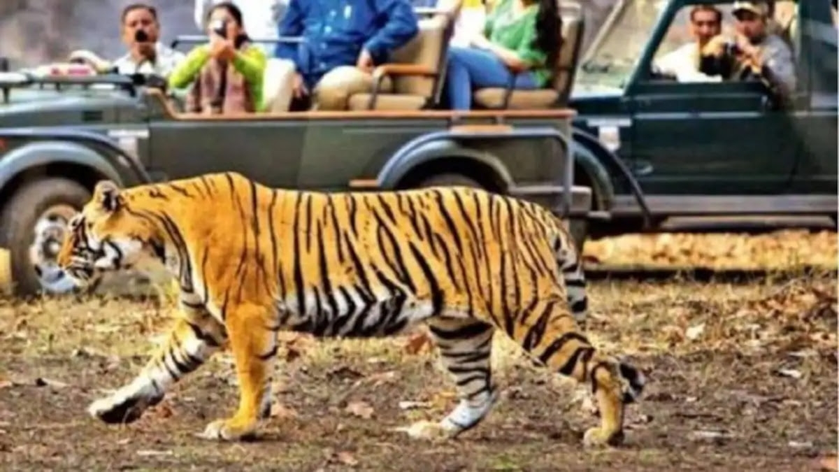 Tiger burns bright to tourists' delight at Pachmarhi Bee Fall in Madhya Pradesh