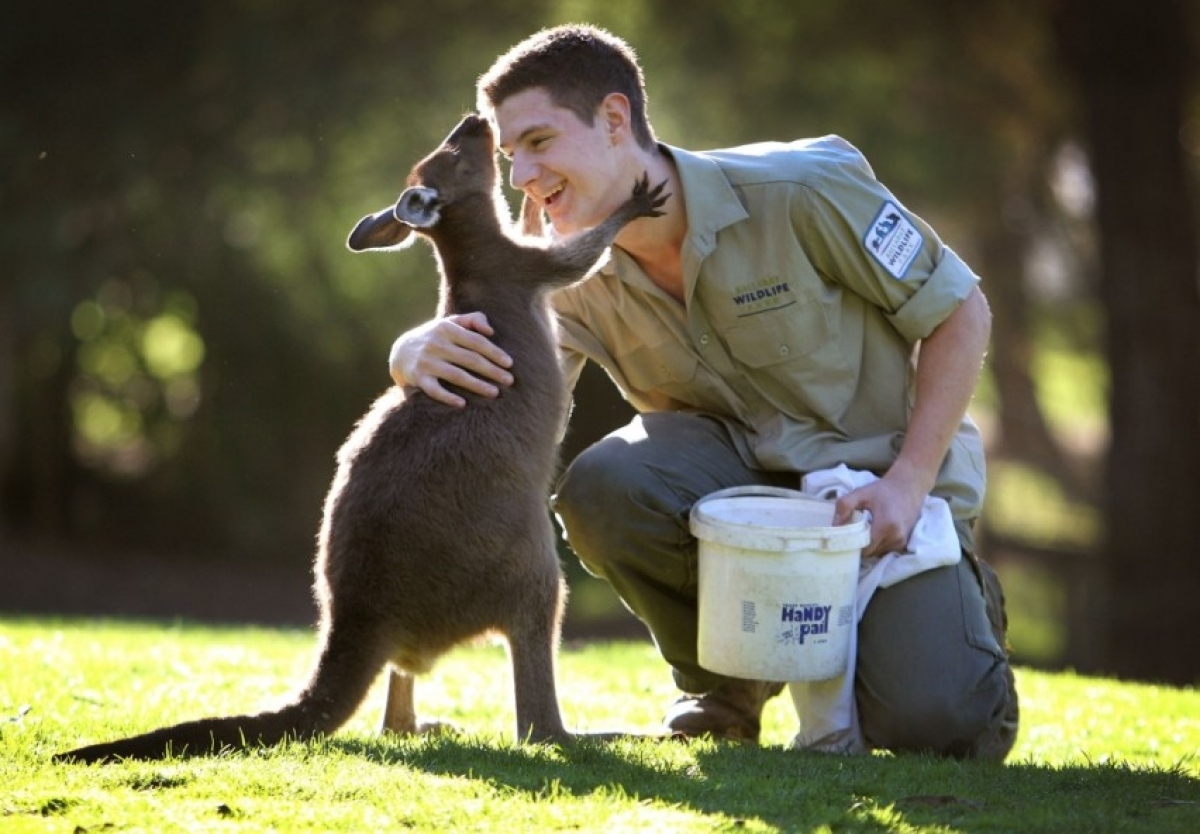 Kangaroos can communicate with humans through their gaze, finds study