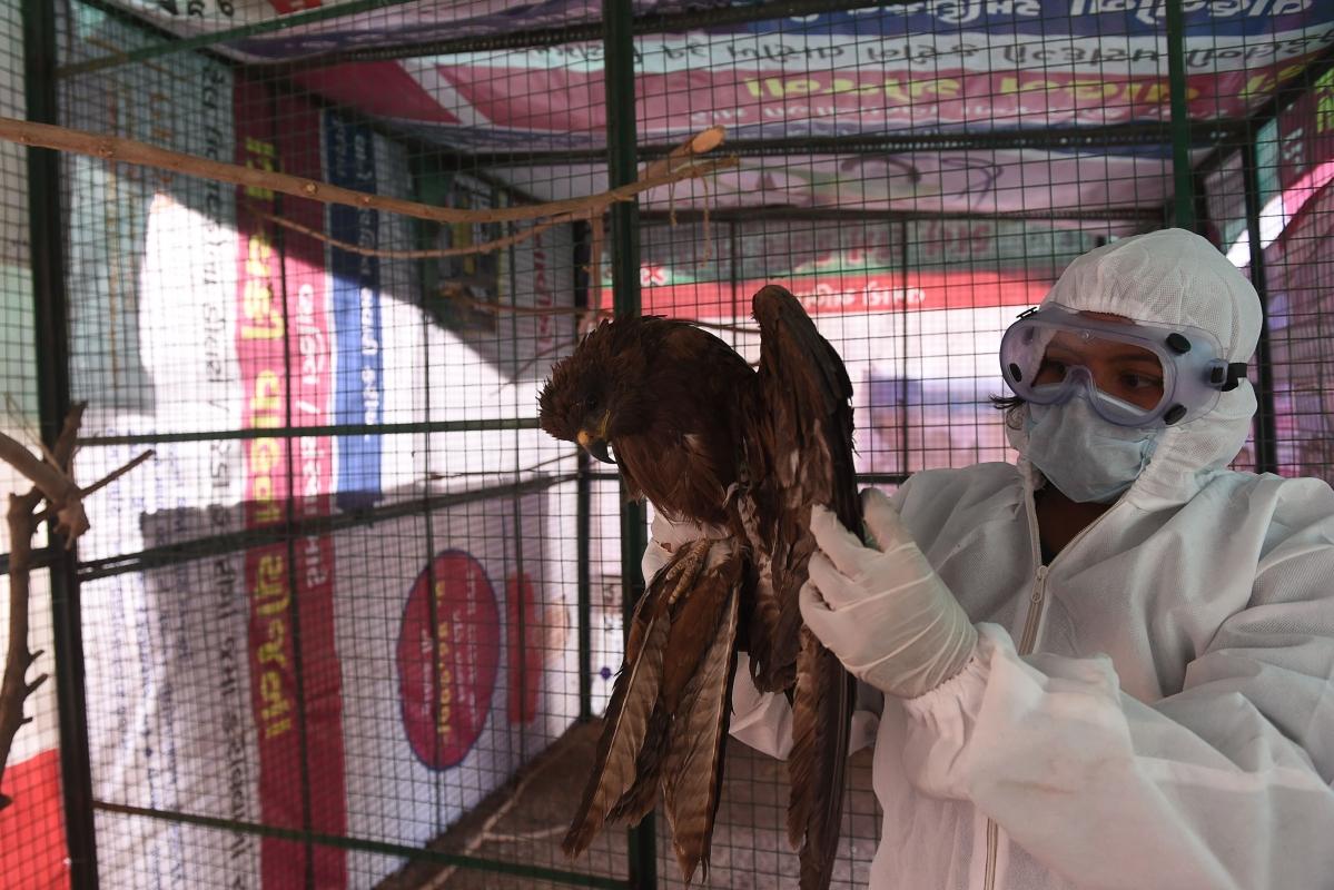 Avian flu in Maharashtra: Over 3,400 birds culled in Parbhani amidst bird flu outbreak