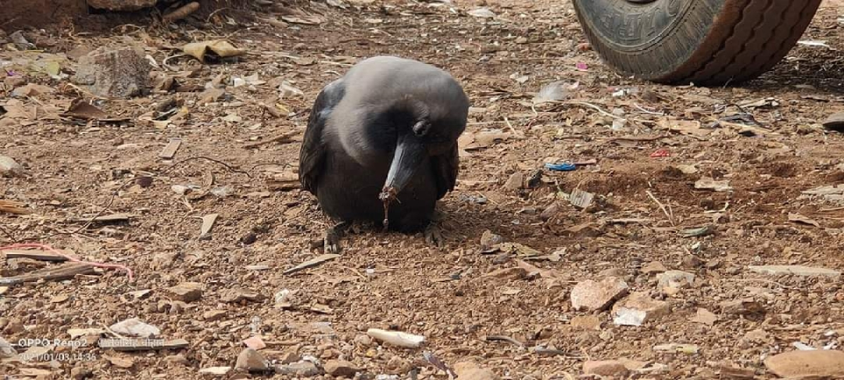 Madhya Pradesh: Over 150 dead crows in Agar Malwa district bring district administration on toes